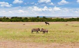 Warthogs fighting in savannah at africa. Animal, nature and wildlife concept - warthogs fighting in maasai mara national reserve savannah at africa Stock Photos