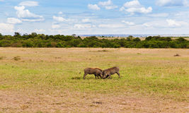 Warthogs fighting in savannah at africa. Animal, nature and wildlife concept - warthogs fighting in maasai mara national reserve savannah at africa Royalty Free Stock Images
