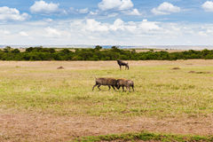Warthogs fighting in savannah at africa. Animal, nature and wildlife concept - warthogs fighting in maasai mara national reserve savannah at africa Royalty Free Stock Photography