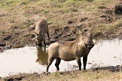 Warthogs am Flussufer Lizenzfreie Stockfotos
