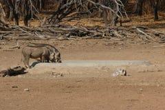 Warthogs. Game farm Namibia Omaruru Royalty Free Stock Photo