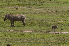 Warthogs on the grass Stock Photos