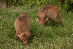 Warthogs Stock Photos
