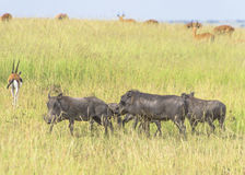 Warthogs. A group of warthogs patrolling its ground on the Masai Mara in Kenya stock photography