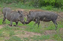 Warthogs head-butting. Warthog (Phacochoerus africanus) head-butting in Kruger National Park, South Africa Stock Photos