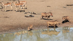 Warthogs and impala antelopes stock footage