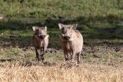 Warthogs, Kenya, Africa stock images