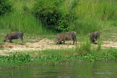 Warthogs kneeling to graze along the river stock photo
