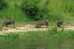 Warthogs kneeling to graze along the river. A trio of Warthogs kneel to graze along the Nile river in Murchison Falls National Park, Uganda stock photo