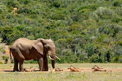 Warthogs laying and watching the elephant drinking water Stock Photo