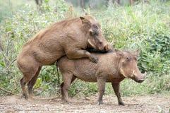 Warthogs mating. Royalty Free Stock Photos