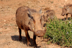 Warthogs on the move Royalty Free Stock Image