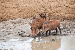 Warthogs and mud Royalty Free Stock Photos