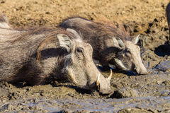 Warthogs Mud Water Animals Wildlife Royalty Free Stock Photos