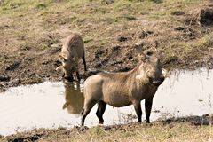 warthogs nadbrzeży rzeki Zdjęcia Royalty Free
