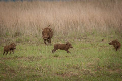 Warthogs Nambiti Royalty Free Stock Images