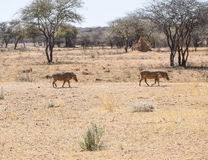 Warthogs in Namibia Royalty Free Stock Images