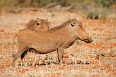 Warthogs in natural habitat Royalty Free Stock Images