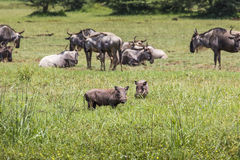 Warthogs near a water hole in Tarangire national park in Tanzani Stock Images