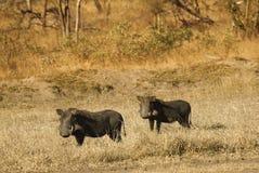 Warthogs nel cespuglio Fotografia Stock