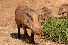 Warthogs no movimento Imagem de Stock Royalty Free
