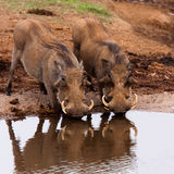 Warthogs no parque do safari de Addo, África do Sul fotografia de stock royalty free