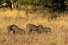 Warthogs Phacochoerus aethiopicus in the grass, Kruger National Park, South Africa Stock Image