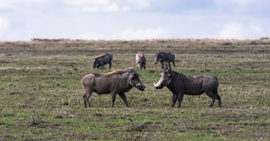 Warthogs. Pigs before the fight. SweetWaters, Africa Royalty Free Stock Photography