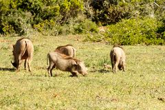 Warthogs playing in the grass. In the field Royalty Free Stock Image