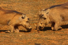 Warthogs praying. These warthogs were praying for their food Royalty Free Stock Photo