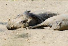 Warthogs Resting Stock Image