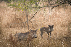 Warthogs in the savanna of Gorongosa National Park Royalty Free Stock Photography