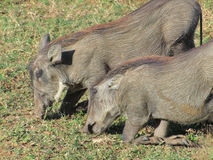 Warthogs in South Africa Royalty Free Stock Image