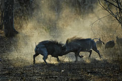 Warthogs squabbling. Two warthogs settling a territorail dispute while guineafowl look on Royalty Free Stock Photos