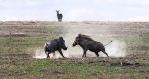 warthogs Striden i fältet Royaltyfri Fotografi