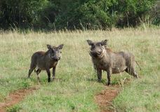 Warthogs in sunny ambiance Royalty Free Stock Images