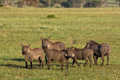 Warthogs in Tanzania Royalty Free Stock Photos