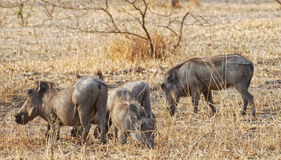 Warthogs in Tanzania Royalty Free Stock Photography