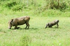 Warthogs on their knees Stock Photos