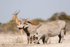 Warthogs Trinken Stockbilder