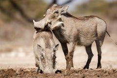 Warthogs Trinken lizenzfreie stockbilder