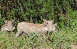 Warthogs w krzaku Zdjęcie Stock