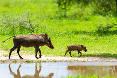 Warthogs by a water Stock Photography
