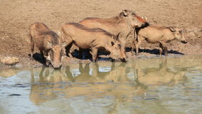 Warthogs at the waterhole