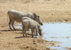 Warthogs at a waterhole Royalty Free Stock Photos