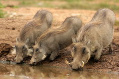 Warthogs at a watering hole stock photos
