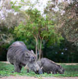 Warthogs. Wild african pigs safari wildlife Stock Photos