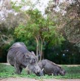 Warthogs. Wild african pigs safari wildlife stock photos