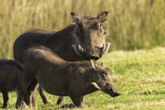 Warthogs Wildlife royalty free stock photo
