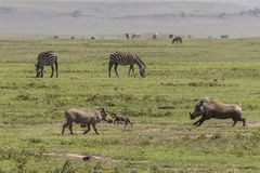 Warthogs and zebras on grass. Warthogs family in Ngorongoro Crater, Ngorongoro Conservation Area, Tanzania. Africa stock photo